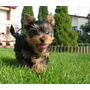 Lindos Filhotes De York Shire, Só Com A Pet Store