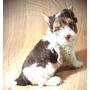Filhote Yorkshire Biro Biewer Terrier - Chocolate Com Branco