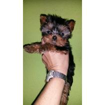 Yorkshire Terrier Micro Lindos Filhotes Legítimos C/pedigree
