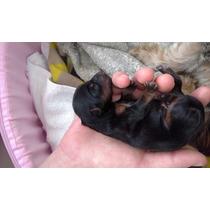 Lindo Filhote Mini Yorkshire Macho Recém Nascido