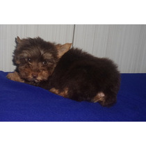 Filhote Macho De Yorkshire Terrier Chocolate Micro