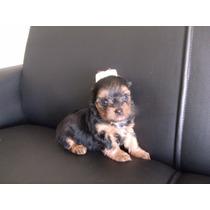 Filhote Macho De Yorkshire Terrier