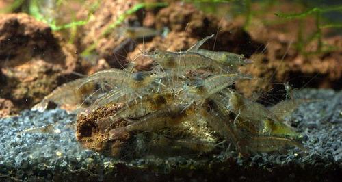 Camarão Malawa - Casal Adulto - (1 Macho + 1 Fêmea)
