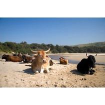 Vacas Fazenda Animal Café Baía Transkye Sul África