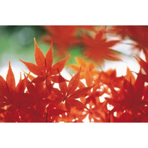 Poster (41 X 27 Cm) Red Maple Leaves Panoramic Images