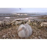 Do Sul Giant Petrel Pássaro Antártico Península Poster