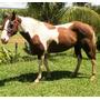 Égua Paint Horse Po - Dona Failas As