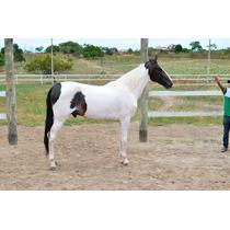 Cavalo Campolina Pampa De Preto Marchador De Pista