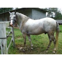 Cavalo Lusitano Tordilho Em Cotia