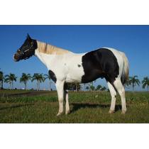 Cavalo Paint Horse (quarto De Milha) Domado