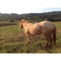 Cavalo Crioulo - Egua Registrada
