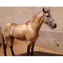 Cavalo Mangalarga Marchador Marcha Picada