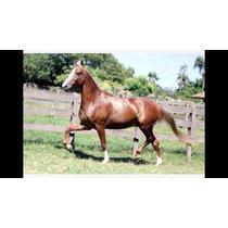 Cavalo Mangalarga Paulista Linhagem 53