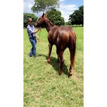Potro/cavalo Quarto De Milha Puro Registrado