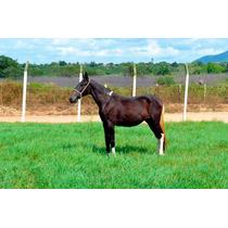 Campolina Pampa Potra Egua Cavalo Ganhe Cobertura Homozigoto