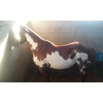 Cavalo De Vaquejada Esquerda