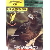 Curió Paracambi - Fazenda São Jose