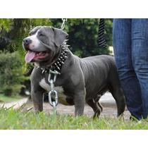 Coleira Cachorro Couro Celta Spikes Cães Pitbull