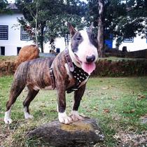 Peitoral Couro Com Spikes Especifico Para Bull Terrier