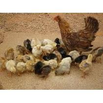 Aprenda A Criar Galinha, Pato, Marreco, Peru E Avestruz