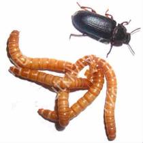 Tenebrio Molitor - 1000 (mil Unidades) Larvas Vivas