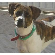 Lindo Cachorro Mix De Boxer X Srd Doação Adoção Responsável