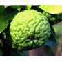 Mudas Limão Kaffir Para Alta Gastronomia