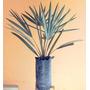Mudas Palmeira Azul Bismarkia Nobilis
