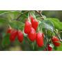 Sementes Goji Berry Prontas Para Plantar