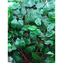 Flores - Ficus Variegata- Folhagem - Muro Inglês