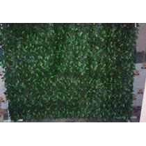 Muro Inglês De Ficus ( 2,0 De Largura Por 2,50 Na Altura ).