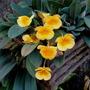 Mudas De Orquídea D. Agregatum 4 Bulbos Pronta Entrega