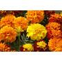 Sementes Flor Tagete Sortida Anã Cravo Da Índia Frete Grátis