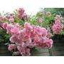 10 Sementes Rosa Trepadeira Rosa Pink + Frete Grátis