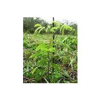 Mudas De Pau Brasil Verdadeiro (caesalpinia Echinata)