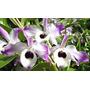 Mudas De Orquídea Dendrobium Nobile(olho De Boneca)