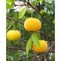 2 Mudas Grandes De Fruta Uvaia - Arvore Nativa Frutifera