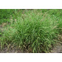 Sementes De Capim Buffel Grass - Embalagem De 06kg