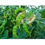 Feijão Guandu 3 Kg Sementes Leguminosa Proteína