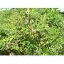 Feijão Guandu Anão 3 Kg Sementes Leguminosa Proteína