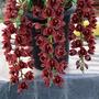 Sementes De Orquídea Cymbidium Vermelha - 12 Sementes