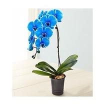 Orquídea Azul Natural