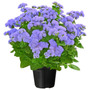 450 Sementes Flor Agerato Mexicano Azul Frete Grátis