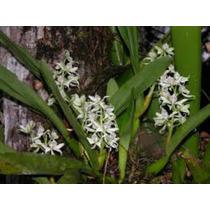 Orquideas Prosthechea Fragans-com Espata Floral