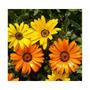 225 Sementes Da Flor Margarida Africana Sortida Frete Grátis