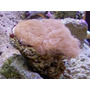 Corais Marinhos Vivos ( Carpet Brown )