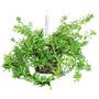 Planta Natural - Rotala Sp (nanjenshan) - Takeyoshi