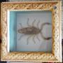 Caixa Com Escorpião Branco Embalsamado / Empalhado