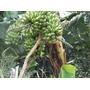 3 Mudas De Banana Prata