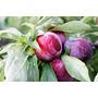 Serragem Madeira Para Defumar Alimentos - Ameixa Roxa - 1 Kg